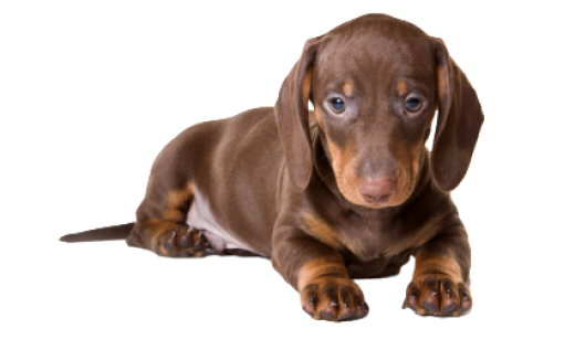 Tiny Miniature Dachshund Rescue | Dog Breeds Picture