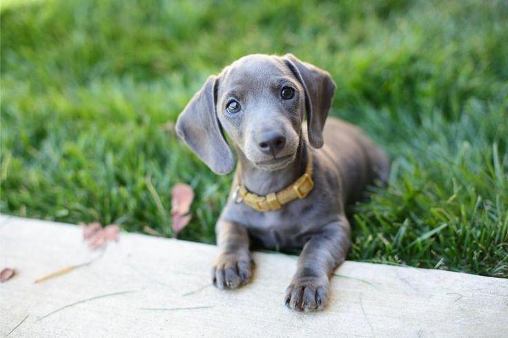 Rescue dachshund puppy